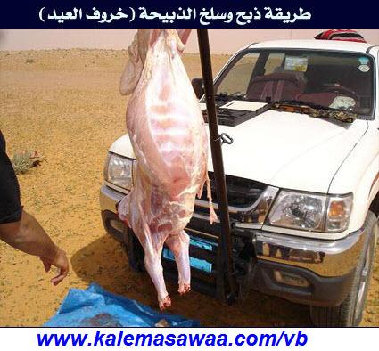 بالصور طريقة وسلخ الذبيحة خروف العيد